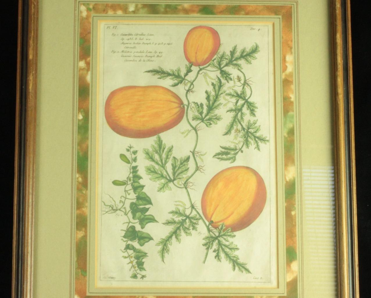 c1890 Framed Chromolith Litho Print Watermelon/Fruit/Botanical Specimen